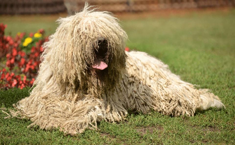 Câine din rasa Komondor stând culcat în iarbă.