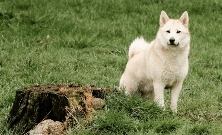 Câine rasa Buhund norvegian stând în iarbă lângă o buturugă.