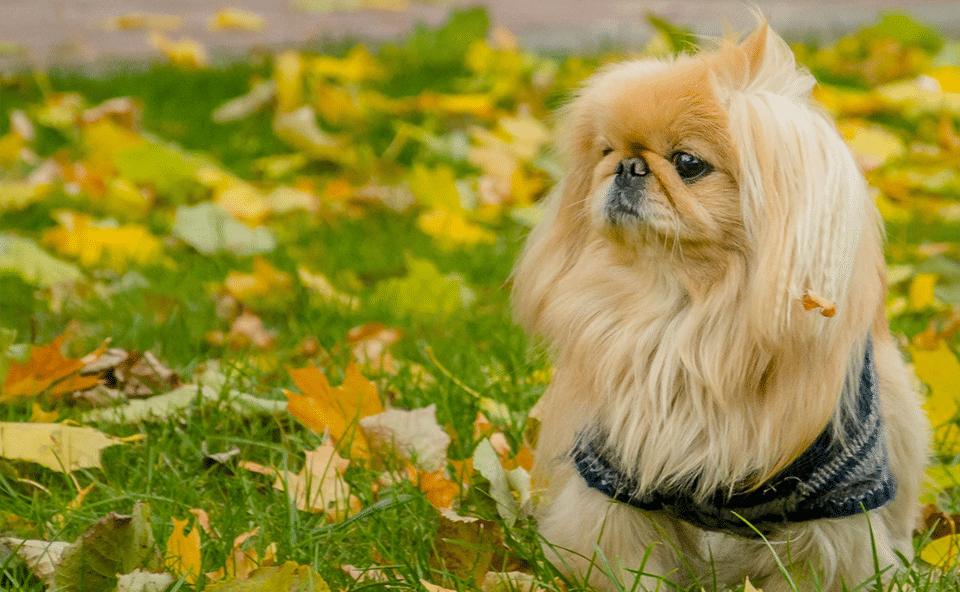 Câine Pechinez stând în iarbă.