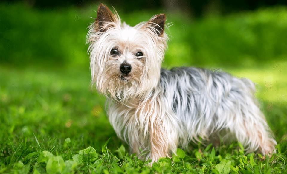 Câine rasa Yorkshire terrier stând în iarbă.