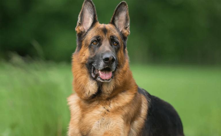 Câine Ciobănesc German văzut de aproape.