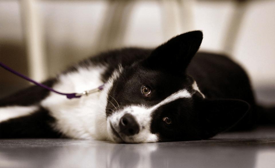 Câine urs de Carelie stând culcat.