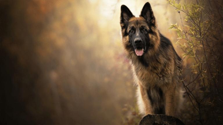 Câine rasa Ciobănesc German văzut de aproape.