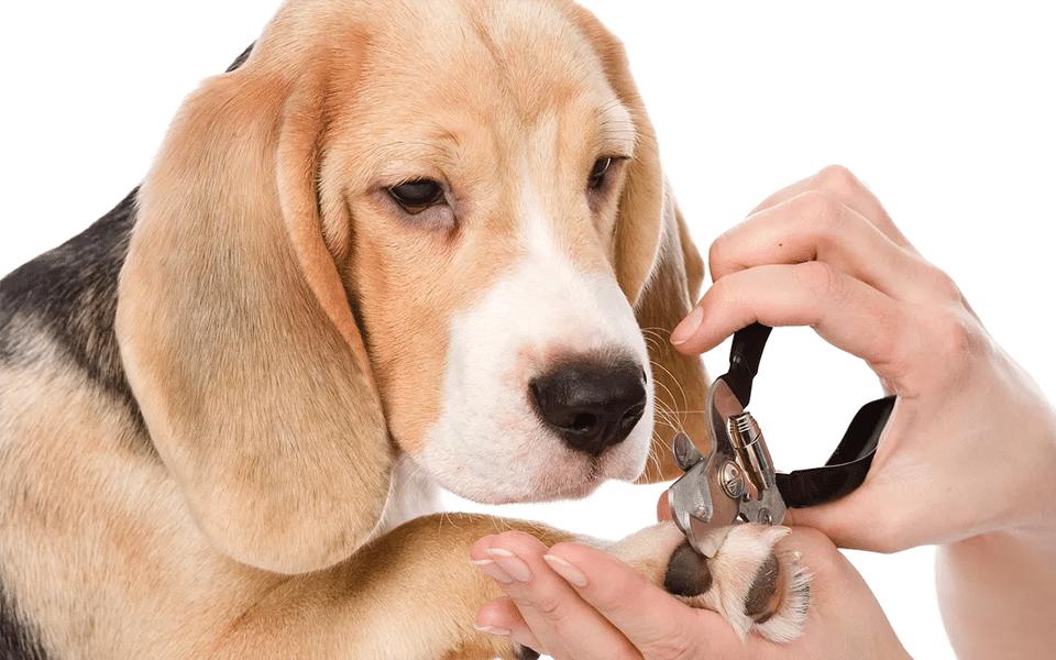 Cățel Beagle uitându-se la mâinile unui femei ce îi taie unghiile.