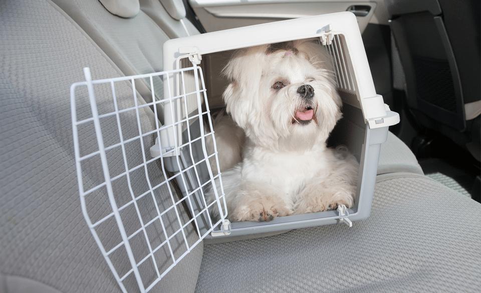 Bichon într-o cușcă de transport pe bancheta unei mașini.