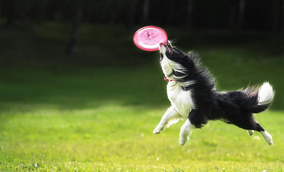 Câine alb-negru prinzând un frisbee roșu în aer.