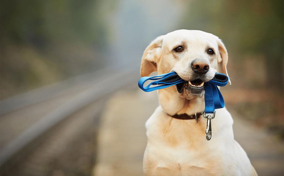 Câine cu o lesă albastră în gură.