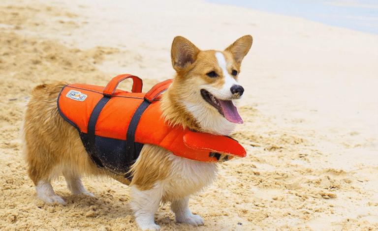 Cățel Corgi cu o vestă de salvare pe plajă.