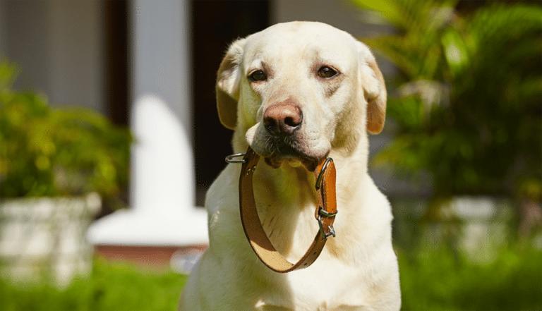 Câine cu o zgardă din piele în gură.