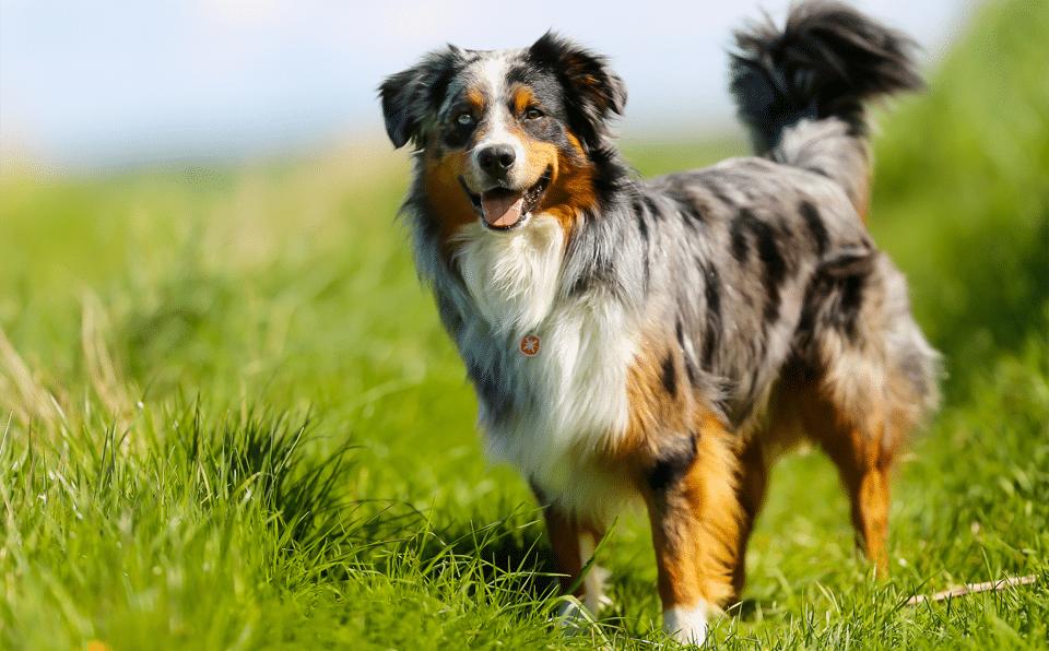 Câine rasa Ciobănesc Australian stând în iarbă.