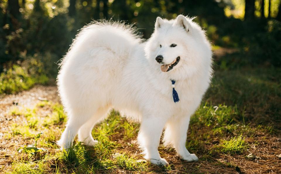 Câine Samoyed stând în iarbă la marginea unei păduri.