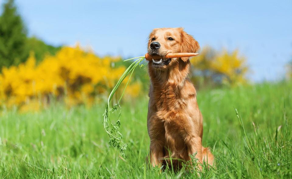 Câine stând în iarbă cu un morcov în gură.