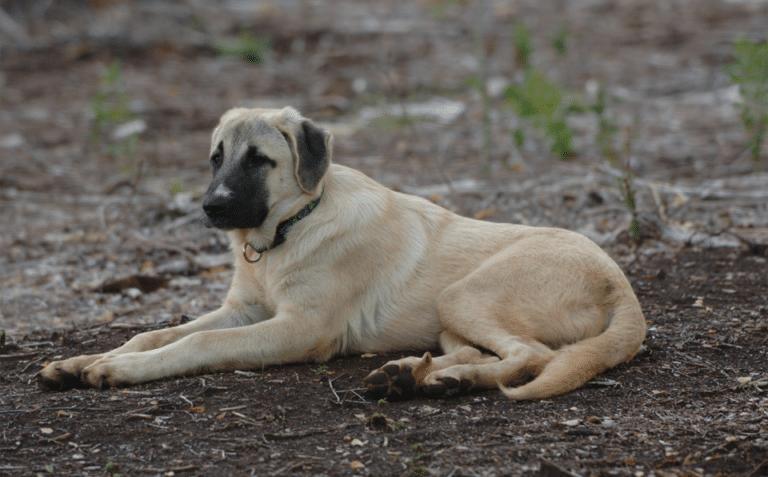 Câine rasa Ciobănesc de Anatolia culcat pe pământ.