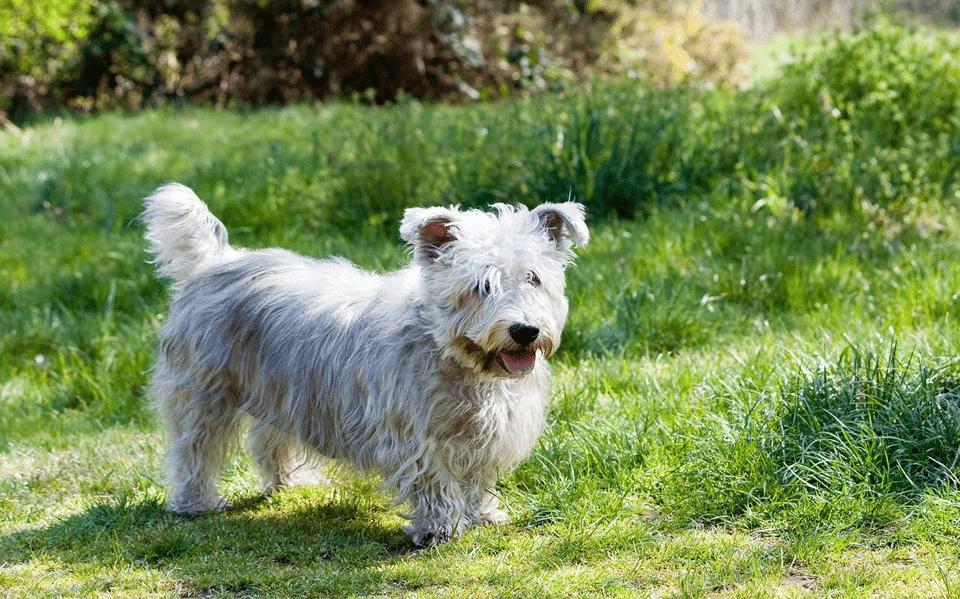 Câine rasa Glen of Imaal Terrier mergând prin iarbă.