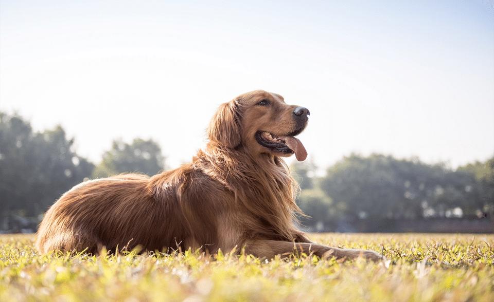 Câine Golden Retriever stând culcat pe iarbă.