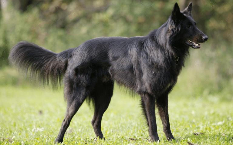 Câine ciobănesc belgian stând în iarbă.