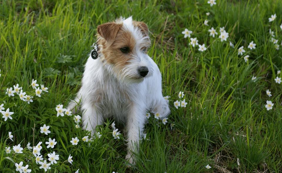 Câine rasa Jack Russell Terrier stând în iarbă.