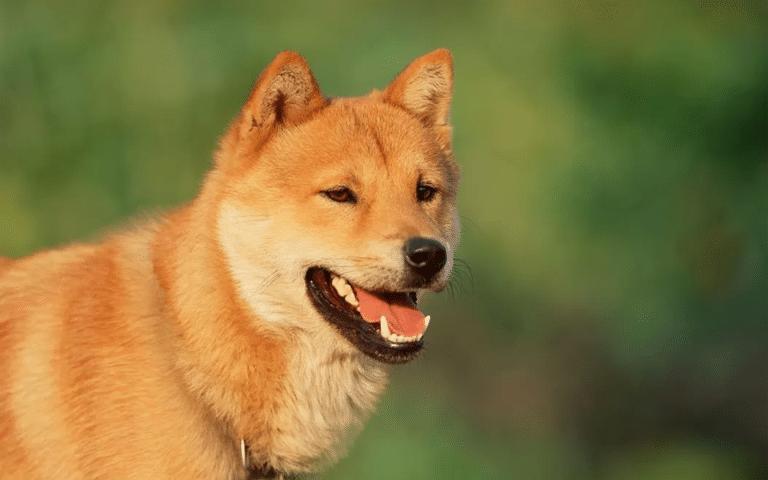 Câine rasa Jindo coreean văzut de aproape.