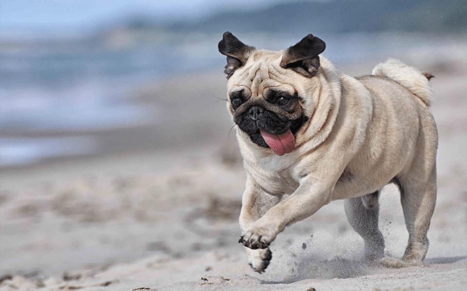 Câine Mops alergând pe o plajă.