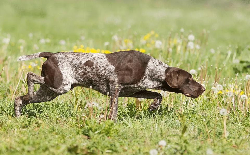 Câine rasa Pointer german cu părul scurt mergând prin iarbă.