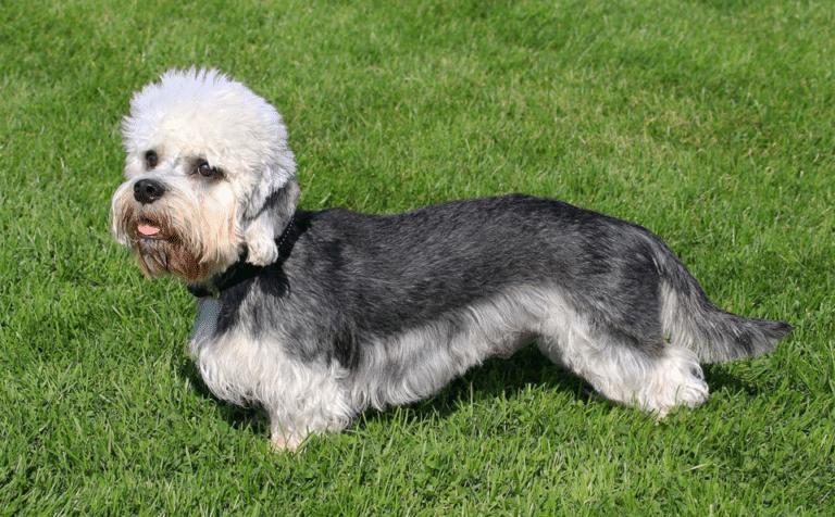 Câine rasa Terrier Dandie Dinmont stând în iarbă.