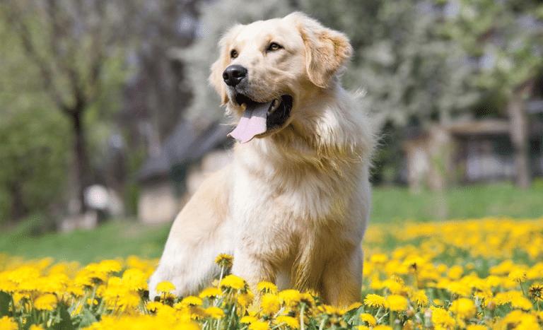 Câine labrador retriever stând într-un câmp cu flori galbene.