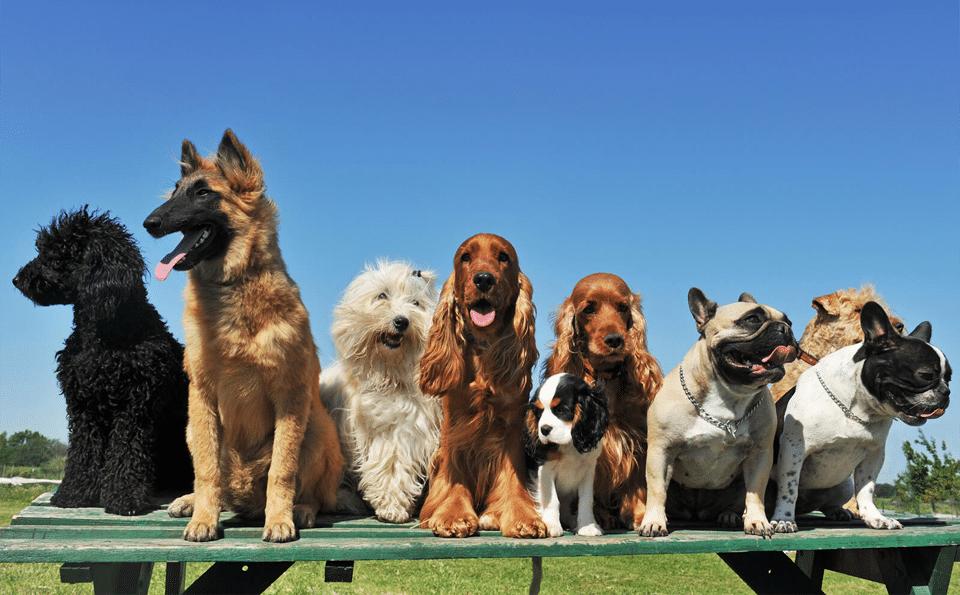 Diferite rase de câini stând pe o masă din lemn.