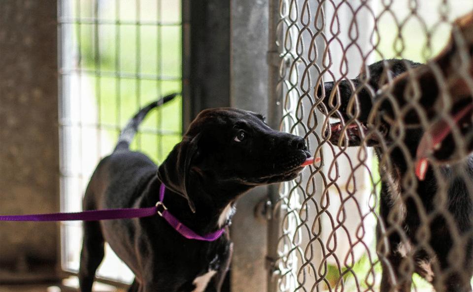 Cățel negru încercând să lingă alți căței printr-un gard de plasă.