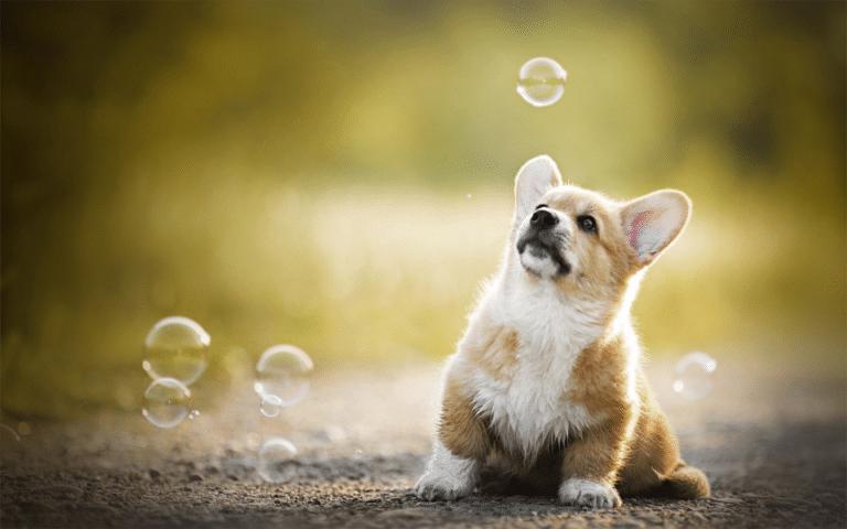 Cățel stând în fund și uitându-se la baloane de săpun.