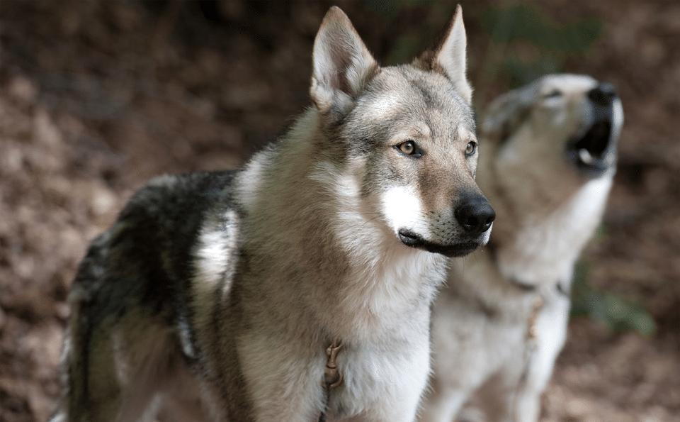 Câine lup văzut de aproape.
