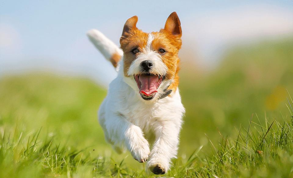 Cățel alergând prin iarbă.