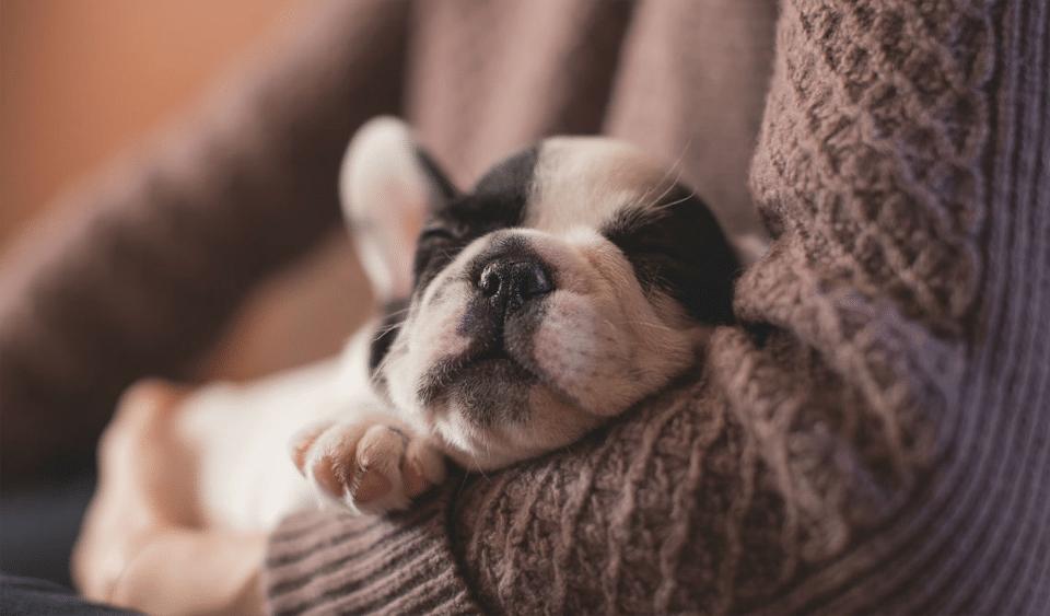 Cățeluș dormind în brațele stăpânei.