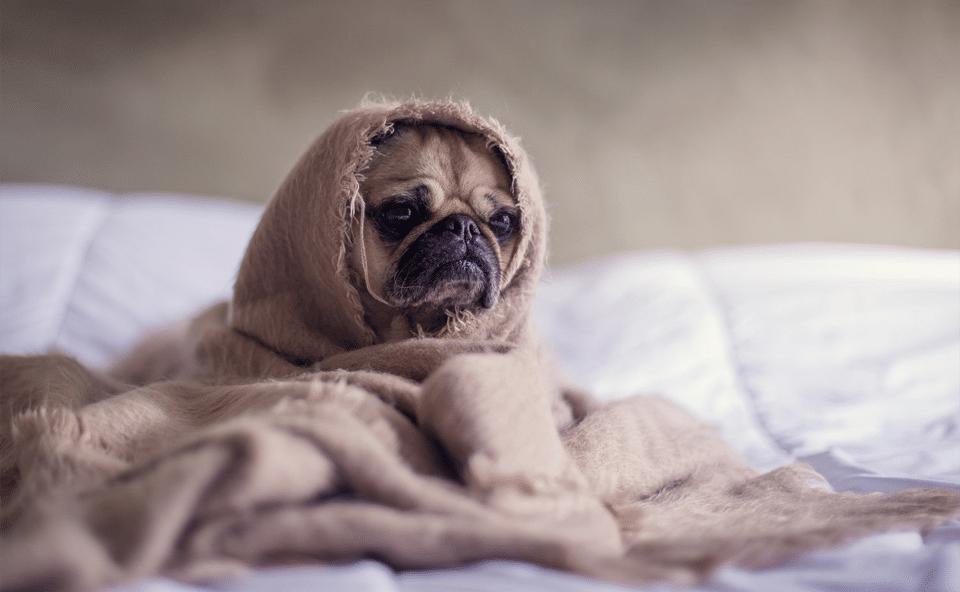 Cățel înfășurat într-o pătură.