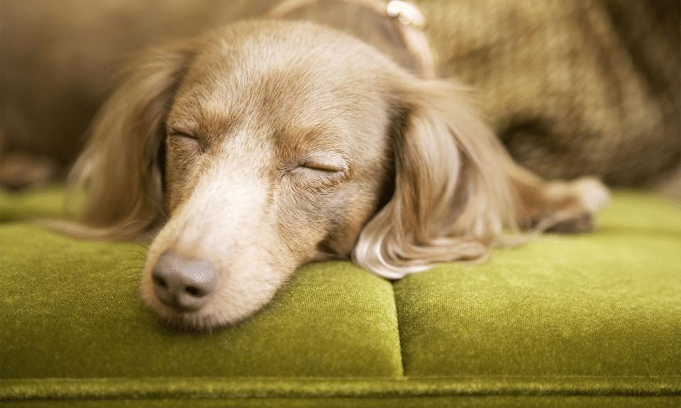 Cățel dormind pe o canapea verde.