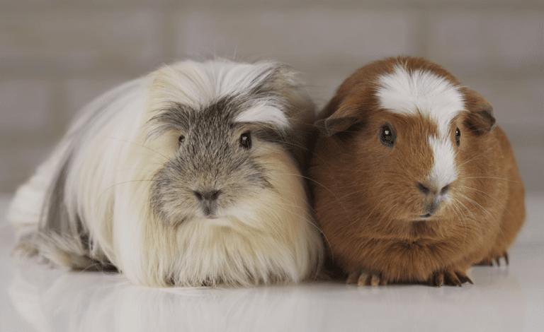 Doi porcușori de Guineea stând împreună.