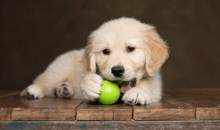 Pui de catel jucandu-se cu o minge.