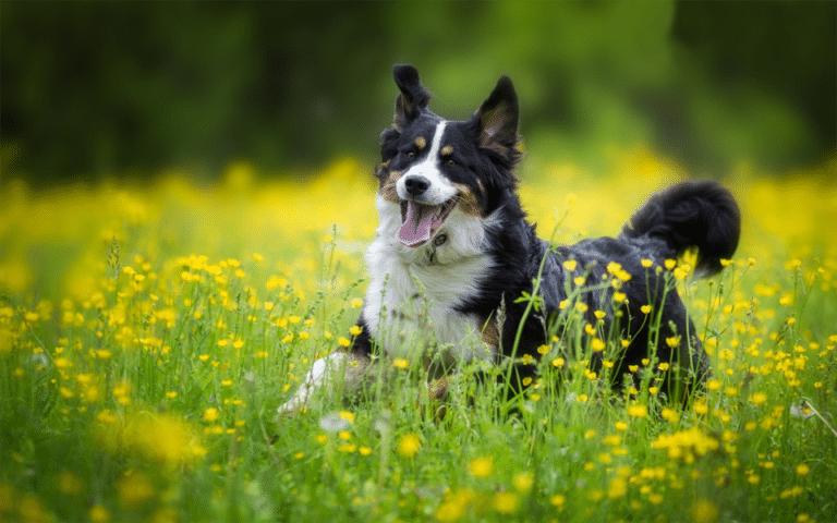 Cățel alergând printre flori de rapiță.