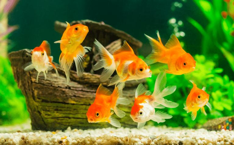 Pesti portocalii intr-un acvariu vazuti de aproape.
