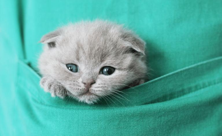 Pui de pisica stand intr-un buzunar.