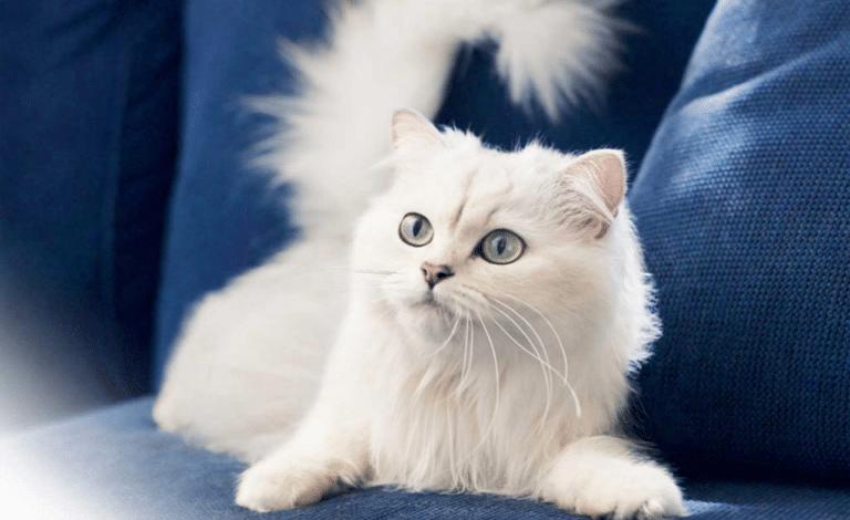 Pisica persana stand pe o canapea albastra.