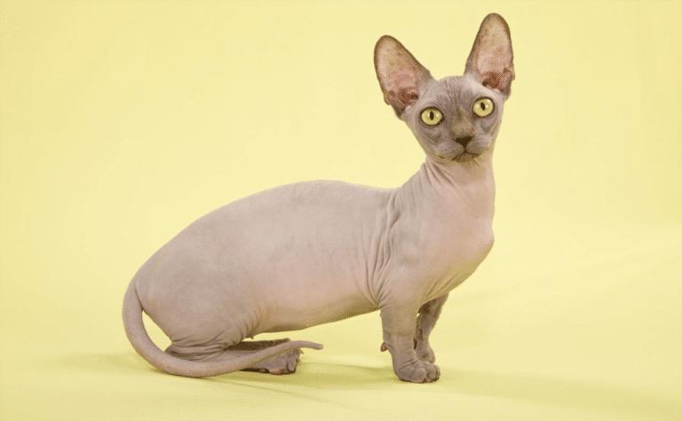 Pisica Bambino stand pe picioarele din spate.