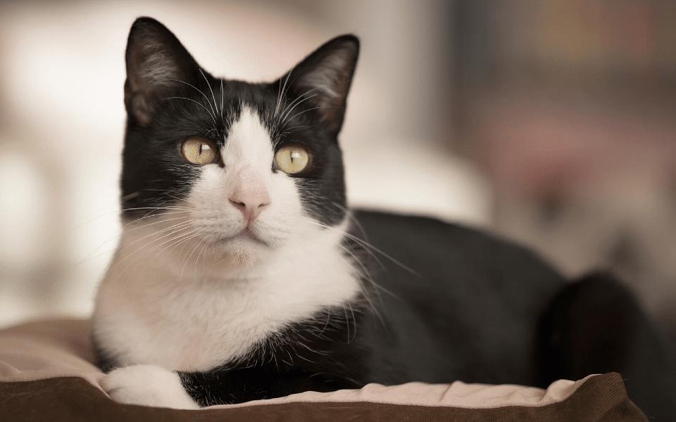 Pisica bicolora vazuta de aproape.