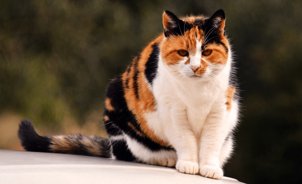 Pisica rasa Calico stand pe capota unei masini albe.
