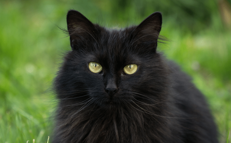 Pisica neagra vazuta de aproape.