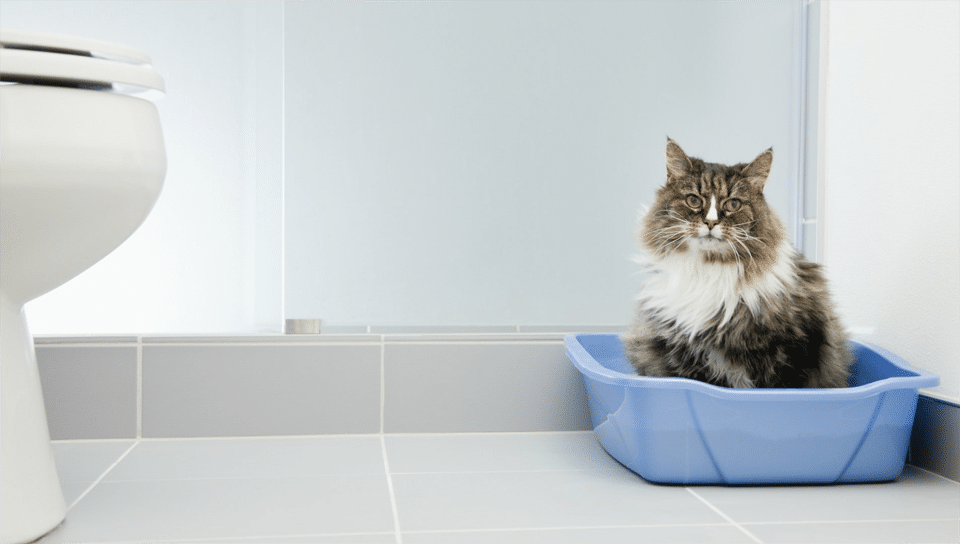 Pisica stand intr-o litiera albastra in baie.