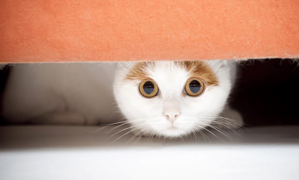 Pisica alba cu pete maro ascunsa sub o canapea portocalie.
