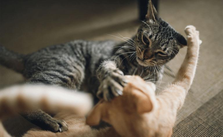 Doua pisici batandu-se.