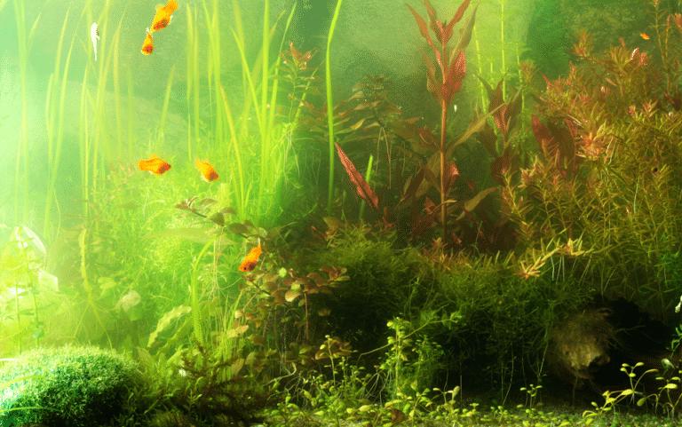 Acvariu cu diferite alge si pesti.
