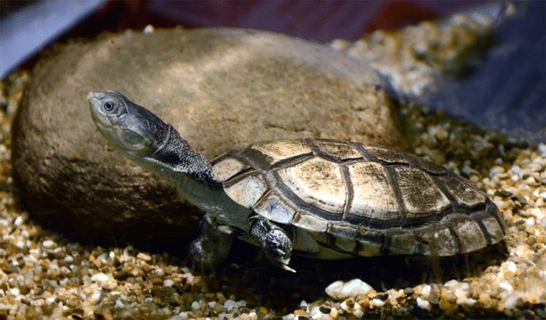 Broasca testoasa africana cu gat lateral stand pe fundul unui acvariu.
