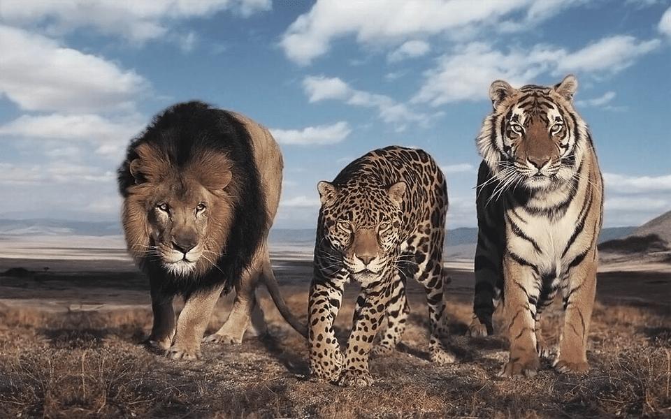 Leu, jaguar si tigru impreuna in savana.